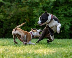 Előítéleteink kutyafajtákkal szemben - Pitbull
